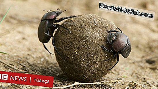 Dung Beetle'Nin Poop Tercihi: Smellier The Better